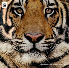 Global Tiger Day! Deze prachtige dieren moeten we toch beschermen!? Steun ons tijgerwerk: http://bit.ly/1pnUxzk