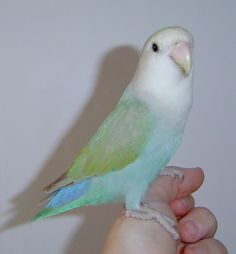Agaporni Más Cute Birds, Pretty Birds, Beautiful Birds, Animals Beautiful, Rare Animals, Jungle Animals, Animals And Pets, Funny Animals, Colorful Birds