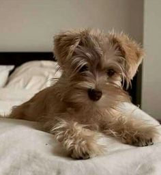 Miniature Schnauzer Puppies, Schnauzer Puppy, Schnauzers, Cute Dogs And Puppies, Baby Dogs, Adorable Puppies, Animals And Pets, Cute Animals, Cute Dog Pictures
