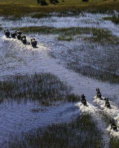 Au galop avec les éléphants dans le delta de l'Okavango au Botswana avec Cheval d'Aventure #safari #afrique