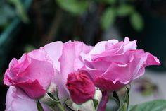 ディオールの香水の名がついたバラ、ディオレサンス(Dioressence)。 そう、 Dior社の香り=Diorディオールessenceエッセンス。