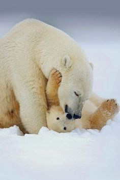 Polar Bear Mother and Cub by Matthew Studebaker The polar bear is a carnivorous bear whose native range lies largely within the Arctic Circle, encompassing the Arctic Ocean, its surrounding seas and surrounding land masses Animals And Pets, Baby Animals, Cute Animals, Baby Giraffes, Nature Animals, Wild Animals, Baby Polar Bears, Love Bear, Tier Fotos