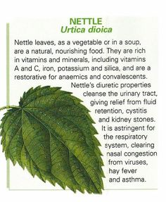 Ancient Remedies Nettle leaf uses / ancient knowledge Healing Herbs, Medicinal Plants, Natural Medicine, Herbal Medicine, Natural Cures, Natural Healing, Herbal Remedies, Health Remedies, Herbs For Health