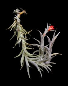 Plant Oddities-Tillandsia edithae