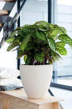 Die grüne Zimmerpflanze Calathea! #pflanzenfreude #calathea #plants #plant #pflanze #planters #pflanzen #houseplant