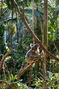 Koala @Diane Haan Lohmeyer Smith Wildlife Sanctuary