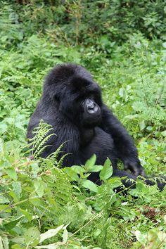 gorilla trek in rwanda 3