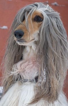 Afghan Hound - Yentle,owner by Gonny De Niet. Afghan Hound, Photo Animaliere, Drag, Dog Rules, Tier Fotos, Hound Dog, Whippet, Happy Dogs, Dog Photos