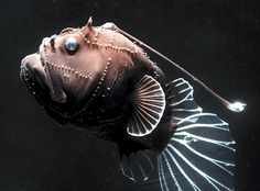 This deep-sea angler fish was collected by a submersible. Just three inches long but fierce-looking, it has a long spine tipped with bioluminescent tissue that it can dangle in front of its mouth. Deep Sea Creatures, Weird Creatures, Underwater Creatures, Underwater Life, Fauna Marina, Deep Sea Fishing, Deep Blue Sea, Tier Fotos, Sea Monsters