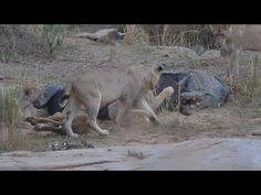 Fierce Kruger Park Wildlife Battle! 10 Lions, 1 Cape Buffalo, 1 Nile Cro...