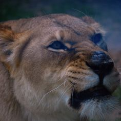Lioness ...I'm glad there was glass there!!!