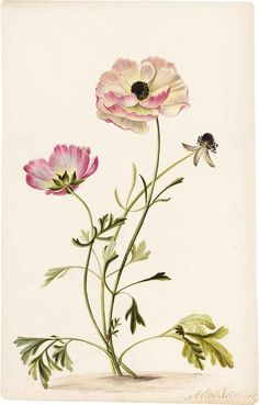 Alida Withoos (Dutch, 1659-1730), Persian Buttercups.: