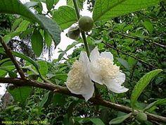 Aguaricará (Campomanesia guazumifolia, Myrtaceas)
