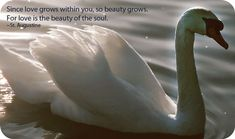 Swan Meaning and Swan Symbolism Love Grace Union Purity Beauty Dreams Balance Elegance Partnership Transformation