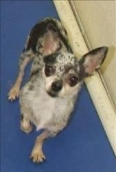 Monica is an adoptable Chihuahua Dog in Quakertown, PA. Monica is such an awesome little lady only a few years and 4-6 lbs. Her fee is $350 which includes spay, micro-chip, vaccines, 4dx heartworm tes...