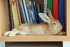 baby flemish giant rabbit   Cute Pet Bunny Photos :: Submit House Rabbit Pics
