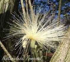 Flores blancas de la Carolina o Coquito, Pseudobombax ellipticum