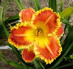 Photo of Daylily (Hemerocallis 'Raggedy Man') uploaded by Petalpusher
