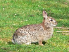 brush rabbit (Sylvilagus bachmani)