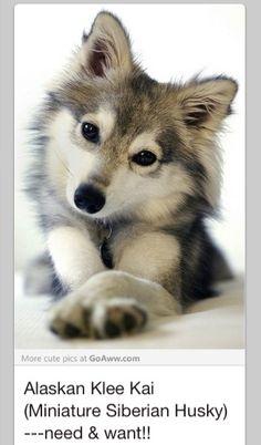 Toy husky