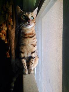 Coco bengal Cat Qatar