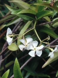 Star Jasmine - thick foliage - climbing/trellis - shade - awesome fragrance !!