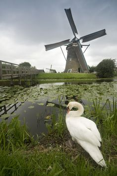 Beautiful Windmill Scene in Holland being Appreciated by a Swan.