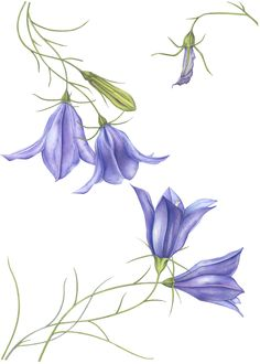Harebell watercolor painting
