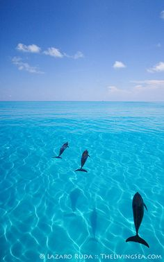 Wild dolphins in the Bahamas. The waters sooo blue. I wanna go there.