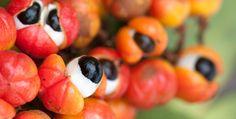 Guaraná - Fruta que não pode ser consumida in natura. Pesquisas do Hospital Albert Einstein mostra benefícios para diminuir cansaço de mulheres em quimioterapia.