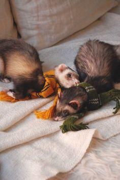 "disneyprinceronweasley: "" the-book-ferret: ""Mischief Managed! Now get these scarves off of us! Baby Ferrets, Pet Ferret, Cute Ferrets, Cute Funny Animals, Cute Baby Animals, Animals And Pets, Cute Dogs, Mammals, Hogwarts"