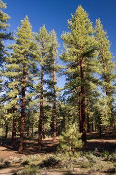 Pinus Jeffreyi, Jeffrey Pine forest | Flickr - Photo Sharing!