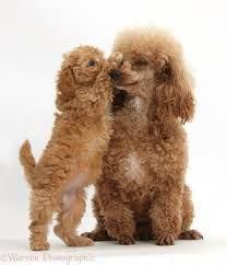 Photograph of Red Toy Poodle puppy, 8 weeks old, reaching up to give his mother a kiss. Rights managed white background Dogs image. Toy Poodle Puppies, Cute Puppies, Dogs And Puppies, Cute Dogs, Doggies, Animals And Pets, Baby Animals, Cute Animals, Poodle Cuts