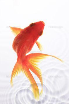 金魚 (c)Shigeru Hoshino/a.collectionRF