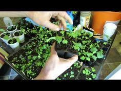 Seed Starting Kohlrabi, Kale, Broccoli, Brussels Sprouts, Cabbages: Planting, Feeding, Transplanting - YouTube