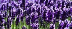 Lavender is one of the most Beautiful Plants to me.