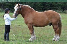 Estonian Draught - gelding Haadolf