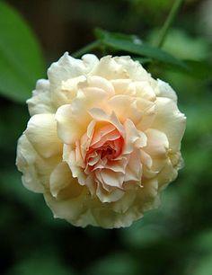 Noisette Rose: Rosa 'Céline Forestier' (France, 1842)