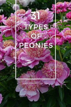 Incredible list of the many different types of peonies flowers. Includes all colors, bloom types and many varieties. This is a terrific checklist peonies guide. #peonies #flowers