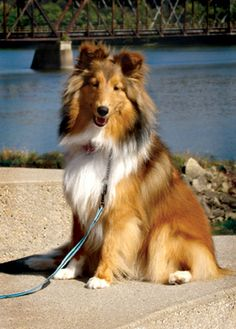 Adopt Copper On Animals Rescue Dogs Sheltie