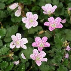 """Stepable Erodium reichardii 'Charm' (Alpine Geranium) 