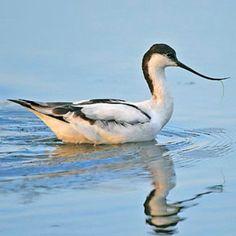 Recurvirostra avosetta (Pied avocet, Avocet) Bontelsie