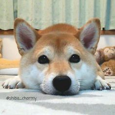 Shiba Inu i like these dogs Animals And Pets, Funny Animals, Cute Animals, Pet Dogs, Dog Cat, Doggies, Dog Training Near Me, Dog Daycare, Shiba Inu