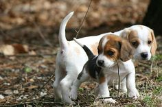 Exploring Beagle Pups: This photo of two, 6 week old beagle puppies, was taken in April 2013 in Pomfret Connecticut. The darker smaller beagle in front is female and is named Scout. Her brother is named Scooter.