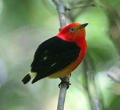 Band-tailed Manakin by Vivek Tiwari: