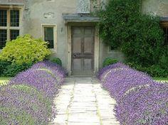 Lavender borders a stone path