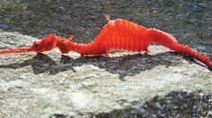 A Ruby Sea Dragon Phyllopteryx dewysea that washed up on the Point Culver cliffs in Western Australia. (Zoe Della Vedova)