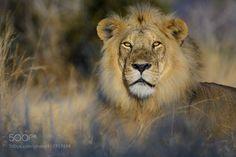 Lion. Ruaha National Park. by RogerdelaHarpe