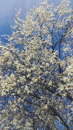 My Kiefer pear tree in bloom. Pear Trees, Nature Scenes, City Photo, My Photos, Bloom, Backyard, Sky, Flowers, Plants