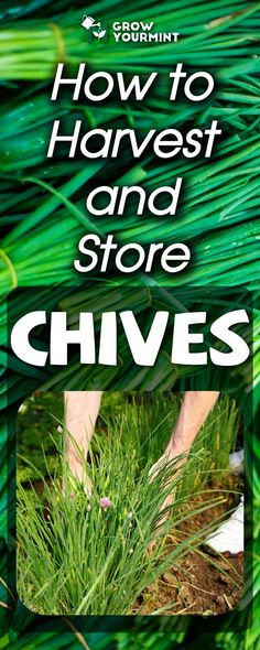 How to harvest and perserve chives #garden #gardening #growyourmint